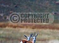 Springbok 0010