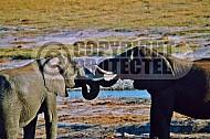 Elephant 0051