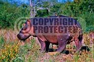 Hippopotamus 0002