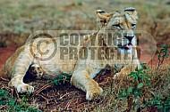 Lion 0032