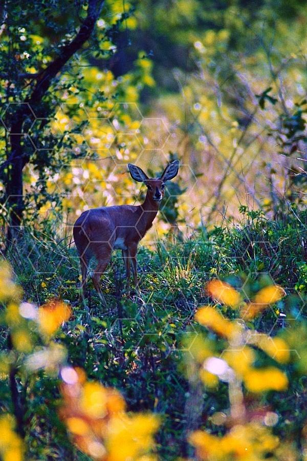 Steenbok Antelope 0005