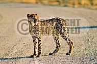 Cheetah 0022