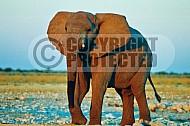 Elephant 0071