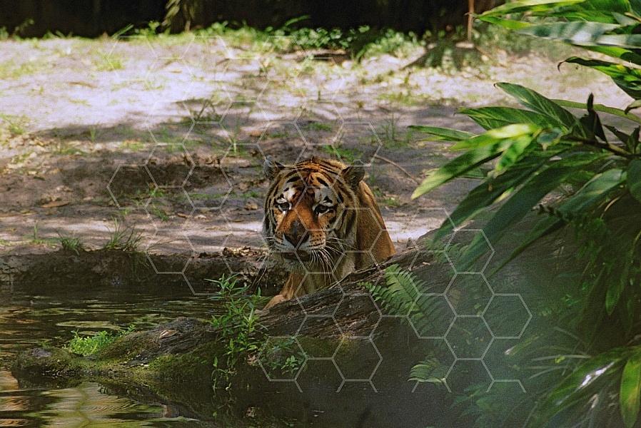 Tiger 0001