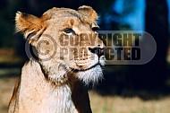 Lion 0015