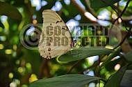 Butterfly 0036