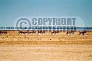 Wildebeest 0010