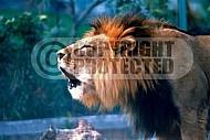 Lion 0016