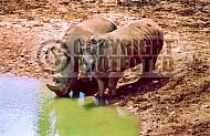 Rhinoceros 0011