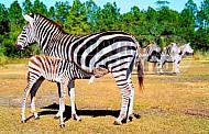 Zebra 0013