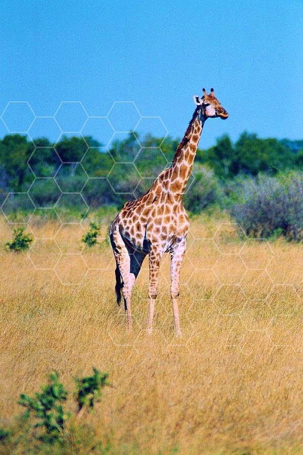 Giraffe 0025