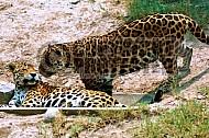 Jaguar 0003