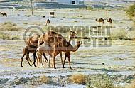 Camel 0016