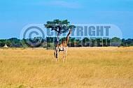 Giraffe 0005