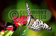 Butterfly 0044