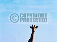 Giraffe 0035