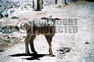 Lamb 0004