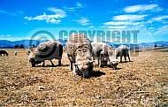 Sheep 0011