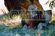 Lion 0009