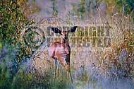 Steenbok Antelope 0001