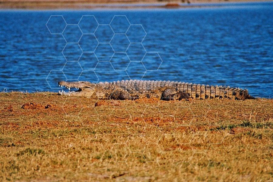 Crocodile 0006