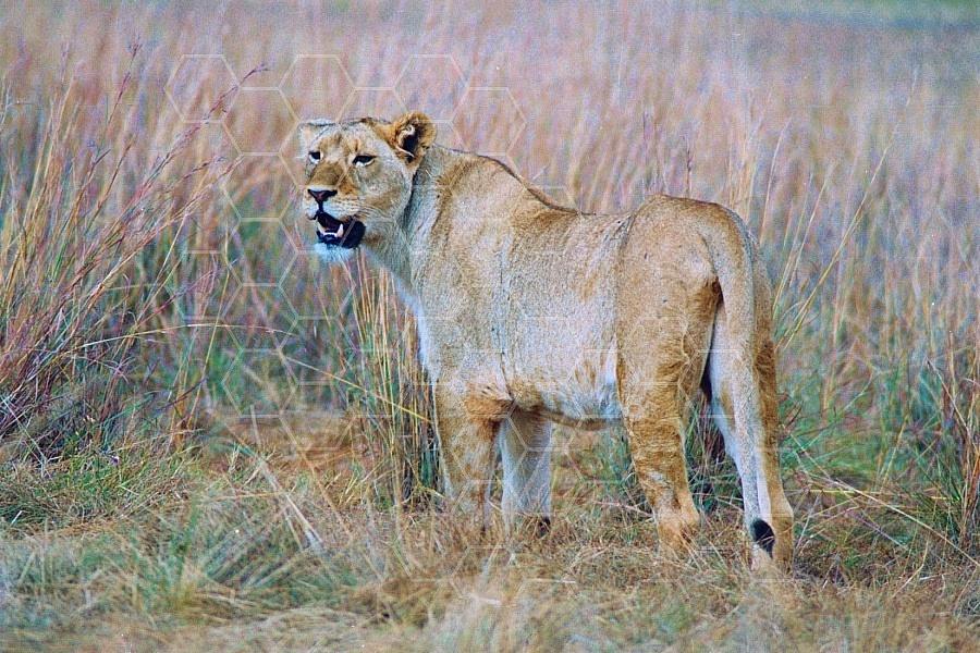 Lion 0024