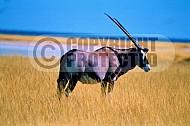 Oryx 0015