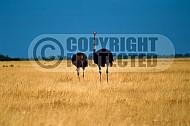 Ostrich 0006