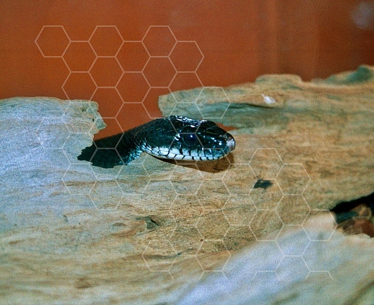 Viper Snake 0009