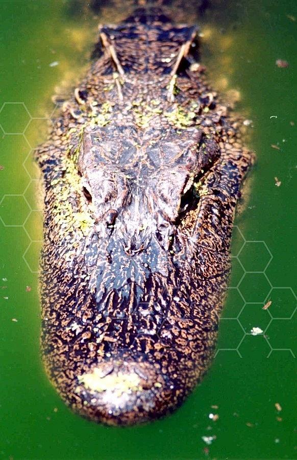 Alligator 0003