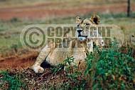 Lion 0041