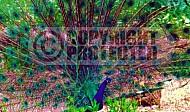 Peacock 0001