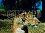Lion 0057