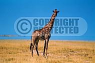 Giraffe 0012