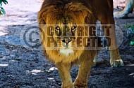 Lion 0029