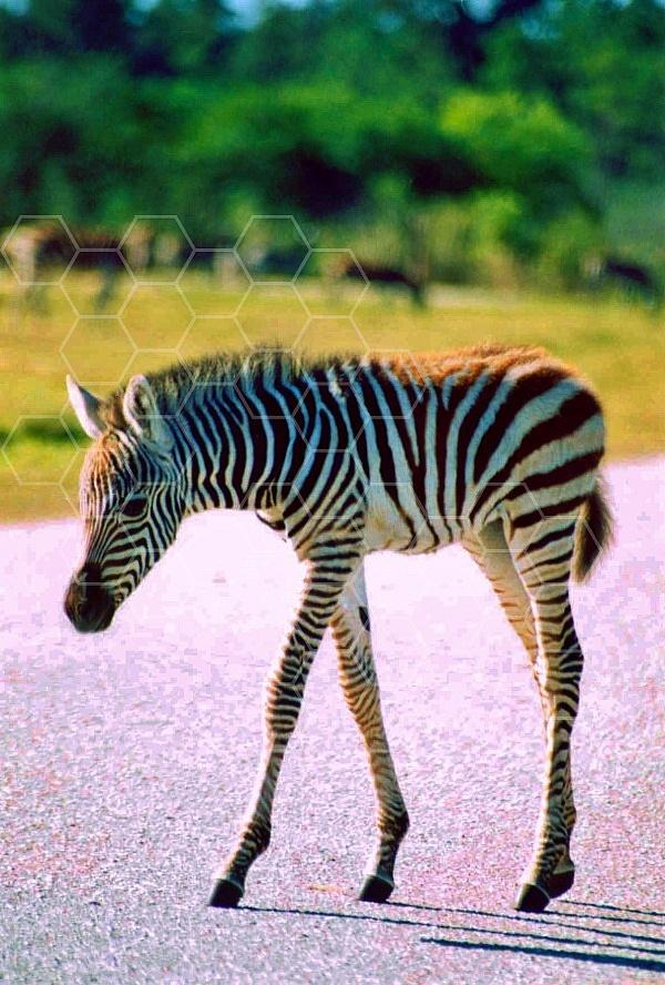 Zebra 0018