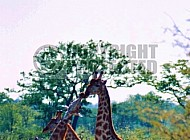 Giraffe 0028