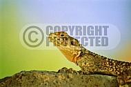 Lizard 0009