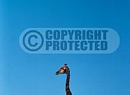Giraffe 0029