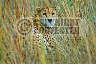 Cheetah 0006