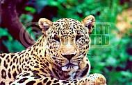 Leopard 0003