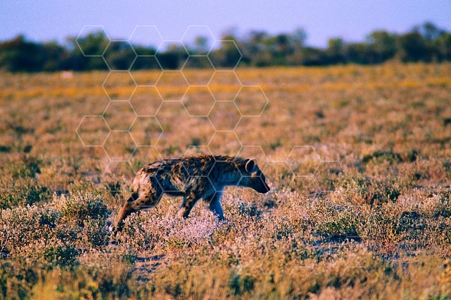 Spotted Hyena 0005