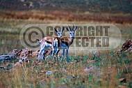 Springbok 0007