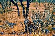 Cheetah 0016