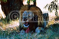 Lion 0010