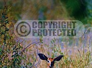 Steenbok Antelope 0004