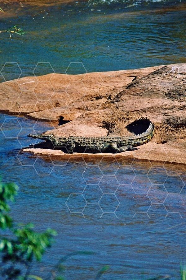Crocodile 0008