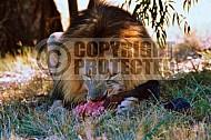 Lion 0040