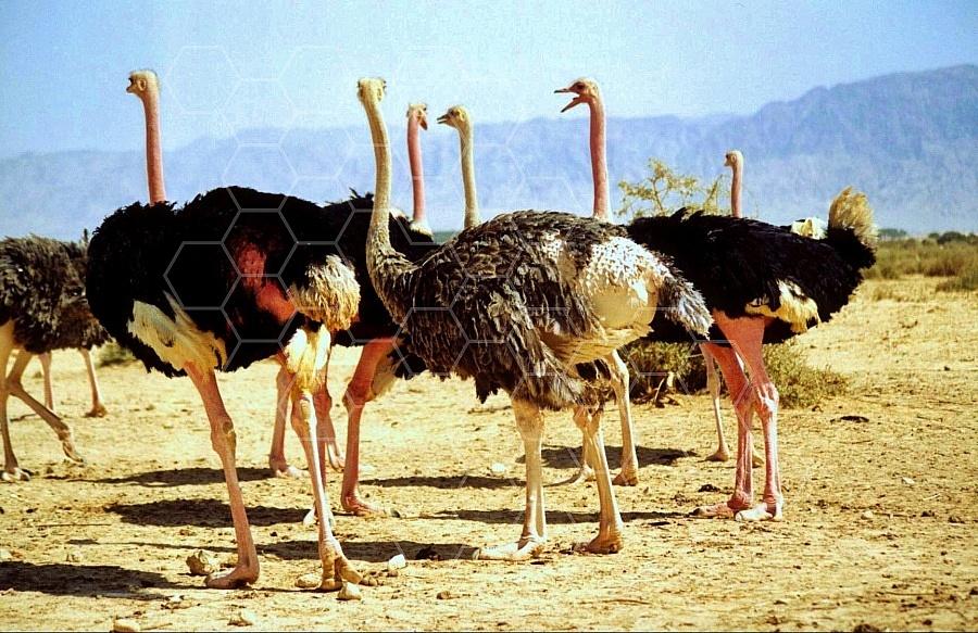 Ostrich 0007