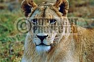 Lion 0047